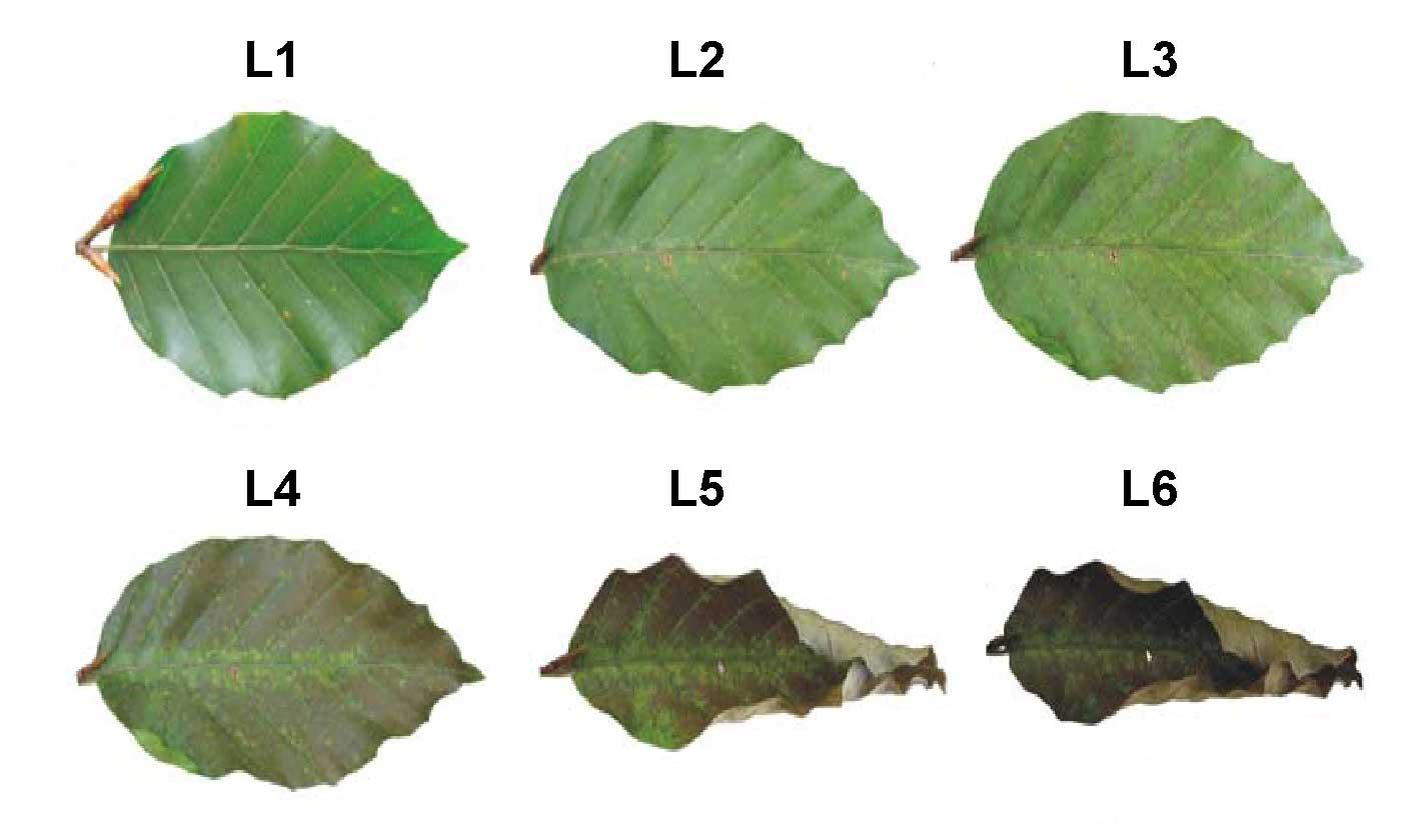 European Alder Tree Identification Www Topsimages Com